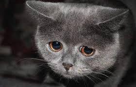 Meme Sad - create meme sad cat meme sad cat sad sad cat pictures