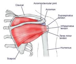 Axial Shoulder Anatomy Shoulder Joint Anatomy Overview Gross Anatomy Microscopic Anatomy