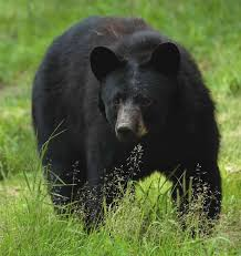New Jersey wild animals images Njdep division of fish wildlife know the bear facts black jpg