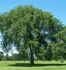 common trees in colorado with pictures