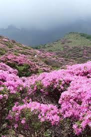 20 best astounding azaleas images on pinterest azalea shrub