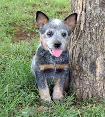 australian shepherd cattle dog australian cattle dog such a beautiful and loyal animal