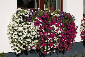 balkon blumen blumen aus murau oberwölz produkte der gärtnerei ressmann