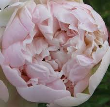 peonies for sale blush peonies for sale available july thru september