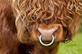 portrait of an long haired highland cattle closeup stock photo