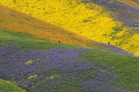 Anza Borrego Wildflowers Super Bloom by California U0027s Super Bloom Continues To Explode With Color How Long
