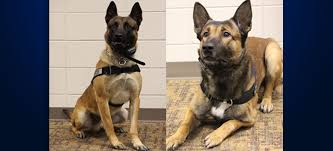 belgian sheepdog massachusetts yankton police to receive 2 protective dog vests