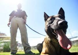belgian malinois competition greeley police k 9s take home honors in statewide competition