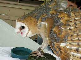 Where Does The Barn Owl Live Barn Owl Does Not Like Dogs Youtube