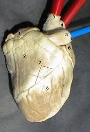 External Heart Anatomy External Heart Anterior View