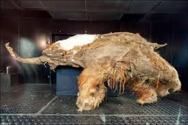 baby woolly mammoth perfectly preserved