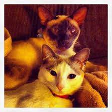 siamese twins funny animals pinterest siamese and twin
