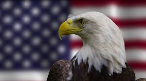 Bald Eagle On Flag Bald Eagle Engaging The Camera In Front Of American Flag Stock