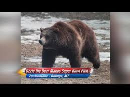 Zoomontana S Grizzly Makes Super Bowl Prediction Ktvq Com Q2 - ozzy the bear makes super bowl prediction youtube