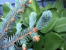 blue spruce blue spruce