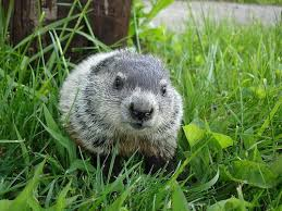 25 baby groundhog ideas happy groundhog