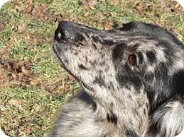 australian shepherd or golden retriever remy adopted dog asrm 0144 washington il australian