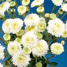 button flowers order white chrysanthemum button flowers global