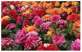 high quality garden scenery flower dahlia seed for planting buy