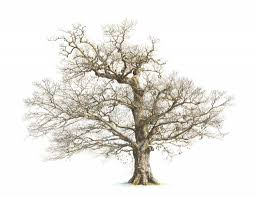 drawing of an oak tree how to draw an oak tree step step trees pop