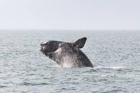 north atlantic right whales u003cem u003e eubalaena glacialis u003c em u003e noaa