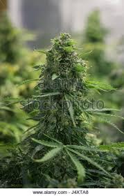cannabis im garten cannabis bud stockfotos cannabis bud bilder