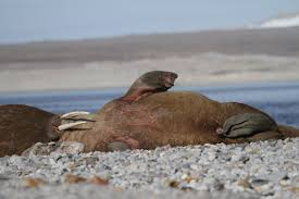 high resolution pictures of walruses and some elephant seals and