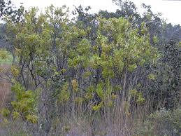 native hawaiian plants list hawaiian tropical dry forests wikipedia