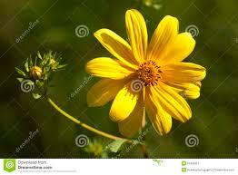 free native plants lanceleaf coreopsis lanceolata wildflowers royalty free stock