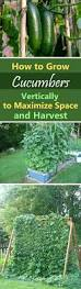 growing cucumbers vertically how to grow cucumbers in small