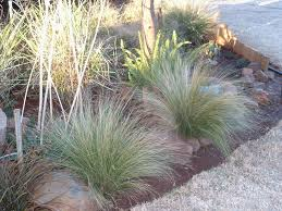 ornament propagating ornamental grass amazing ornamental grasses