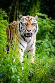 free picture tiger jungle nature plants predator