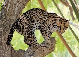 Texas wildlife images Passport to texas blog archive endangered wildlife the ocelot jpg