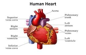 image of heart with part name human all part in body anatomy