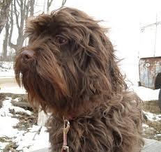 affenpinscher maltese mix 9 affenpinscher mix dog breeds cross of affenpinscher breeds