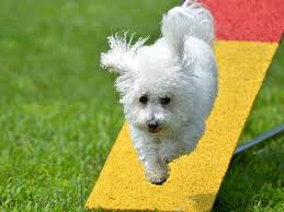 bichon frise good and bad 5 things to know about the bichon frise petful