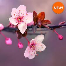 cherry blossom pics japanese cherry blossom fragrance oil candlescience