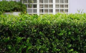native hedging plants how to achieve privacy in your backyard zones