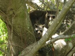 How To Get Rid Of Raccoons In Backyard Raccoon Removal Wildlife Removal Services Of South Florida