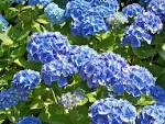 Hydrangea macrophylla f. normalis | Name That Plant