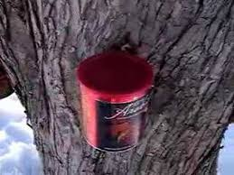 Backyard Maple Syrup by Making Maple Syrup From My Back Yard Maple Tree Youtube