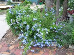 plantanswers plant answers u003e plumbago a lovely blue flowered