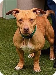 american pitbull terrier mix pitbull chihuahua mix a k a chipit u2013 breed info