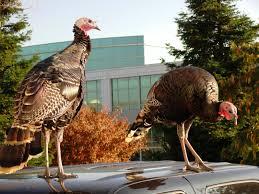 more turkeys braman s wanderings