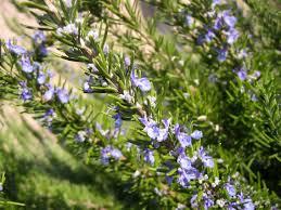 plante vivace soleil les erreurs à éviter dans la culture des plantes aromatiques