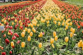 the tulip fields u2013 grow gardner grow