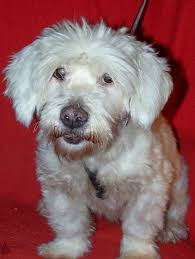 bichon frise 6 years old adopt me good dog rescue u0027s weblog