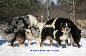 australian shepherd quiz faithwalk aussies canine social behavior