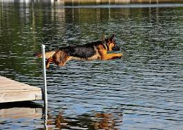 belgian malinois water dock diving for your dog german shepherd things for my german