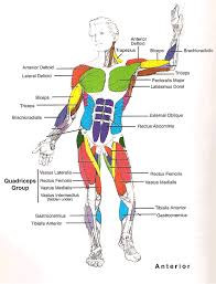 Anatomy And Physiology The Muscular System Muscles Diagrams Diagram Of Muscles And Anatomy Charts Anatomy